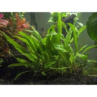 Java Fern - Huge 3 by 5 inch Mat with 30 to 50 Leaves - Live Aquarium Plant by Aquatic Arts by...