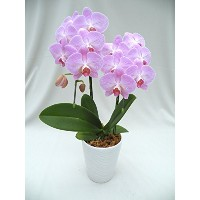 MOTHER'S DAY FRESH FLOWER GIFT! ORCHID PHALAENOPSIS (PINK) DOUBLE STEMS, ANNIVERSARY, BIRTHDAY,...