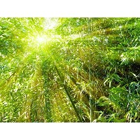 Wallmonkeys Wall Decals Bamboo with Rays of Light Peel and Stick Wall Decal, 18 x 14 by Wallmonkeys...