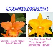 Blc.Fuchs orange Nagget 'Robert' AM/AOS X Pot. Haw Yuan Gold 'Youg Kong #2 GC/WOC99フクスオレンジナゲット'ロバート'Xハウヤン...