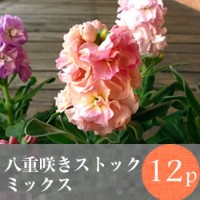 [販売前]◎◎八重咲きストック 矮性種 花苗 12ポットミックス