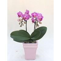MOTEHR'S DAY FRESH FLOWER GIFT!! MINI ORCHID PHALAENOPSIS (PINK) DOUBLE STEMS, ANNIVERSARY,...