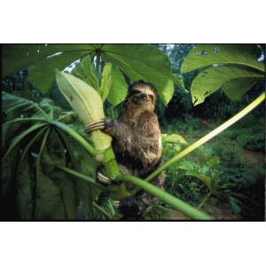 A Three-toed Sloth Feeds on the Leaves of an Ambaibo Tree. - 24W x 16H - Peel and Stick Wall Decal...