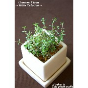 ☆English Garden Variety☆★蔵王直送!!新鮮ハーブ★Common Thyme/White cube modern Potコモンタイムホワイトキューブポット...