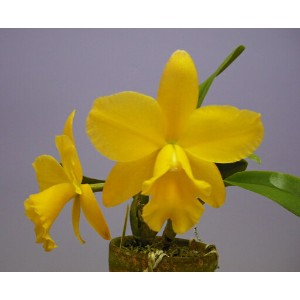 ポチナラ メモリアルゴールド 'キャナリー'Pot.Memorial Gold 'Canary' BM/JOGA (Blc.Memoria Helen Brown x Sc.Beaufort)...