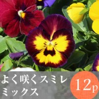 [今季終了]◎◎よく咲くスミレ花苗 12ポットミックス