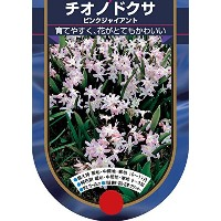 【BULB PLANT】Chionodoxa Pink Giant チオノドクサ・ ピンク・ジャイアント・ポット苗