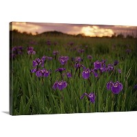 "Calvin Hallギャラリー‐ Wild Iris Blooms on Palmer hayflats at sunset SC AK夏mat-su Valley 24"" x 16""..."