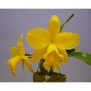 ポチナラ メモリアルゴールド 'キャナリー'Pot.Memorial Gold 'Canary' BM/JOGA (Blc.Memoria Helen Brown x Sc.Beaufort)【花なし...