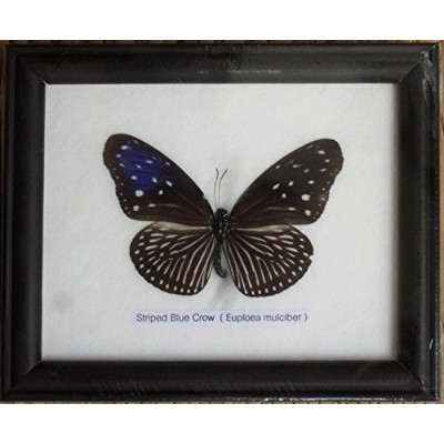 Insectfarm btf01b Framed RealストライプブルーCrowバタフライCollectible表示Insect Taxidermy