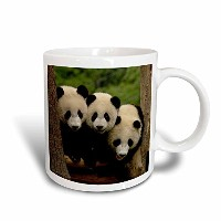 3drose Danita Delimont – Bears – Giant Panda Bears , Wolong中国Conservation、china-as07 pox0378 –...