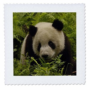 Danita Delimont – Bears – Giant Panda Bears , Wolong中国Conservation、china-as07 pox0658 – Peteオックスフォード...