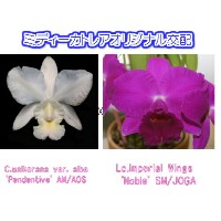 C.walkerana var. alba 'Pendentive' AM/AOS X Lc.Imperial Wings 'Noble' SM/JOGA カトレア.ワルケリアナ'ペンディンティブ...