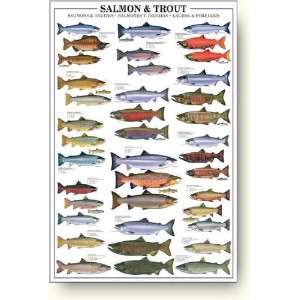 ポスター Salmon and Trout
