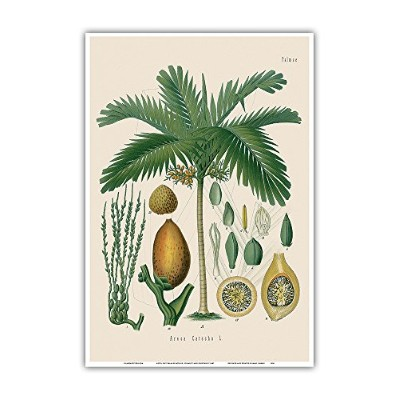 BetelナットPalm – からHermann Koehlerの薬用植物 – ヴィンテージ植物Illustration by Walther Otto Müller、c.f. Schmidt,...