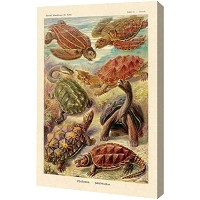 Haeckel Natureイラストレーション: Turtles by Ernst Haeckel – ギャラリーWrapped Gicleeキャンバスアートプリント – Ready To Hang...