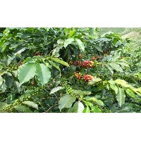 Unroasted Coffee Beans 3lb–100% Colombian Coffee Beans–Green Coffee Beans–Single origin...