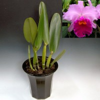 Lc. Irene Finney `Ingrid 'HCC/AOS【Lc. Bruno Alberts x C. J A Carbone (1964) Registered 】 カトレア...