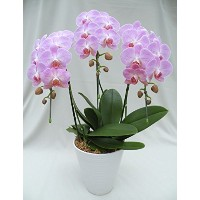 FRESH FLOWER GIFT! ORCHID PHALAENOPSIS(PINK)THREE STEMS, ANNIVERSARY,BIRTHDAY,WEDDING,HOUSEWARMING...