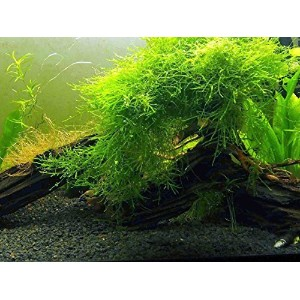 Java Moss - Live Aquarium Plant by Aquatic Arts - Large 25 Square inch Portion by Aquatic Arts