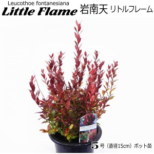 岩南天 苗 Little Flame 15cmポット苗