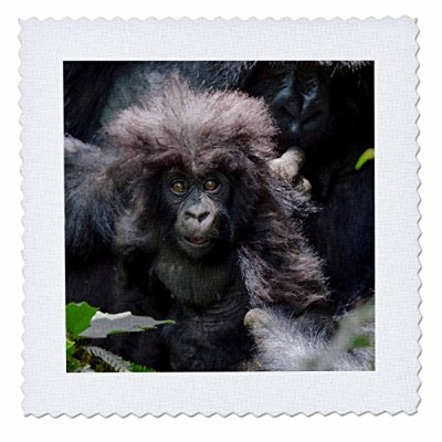3drose Danita Delimont–ベビー動物–マウンテンゴリラBaby in the Forest, Parc National Des Volcans、ルワンダ–...