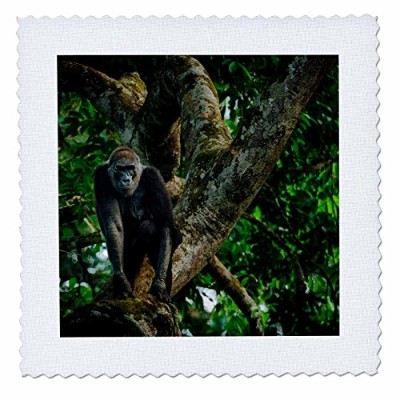 3drose Danita Delimont – Primates – WesternニシローランドゴリラWalking the Forest。Odzala kokoua NP。CONGO –...
