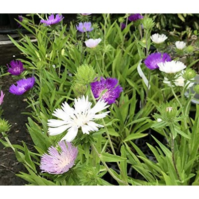 """A Stokes' aster 4 pot seedling""""color of a flower ignorance five set"""" (e7)"""