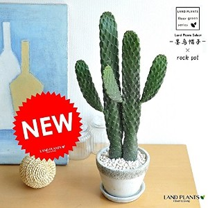 LAND PLANTS サボテン 墨烏帽子 2本立ちロング 石模様セメントポット