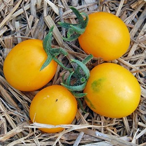 【SEED】 Heirloom Tomato Hartman's Yellow Gooseberry エアルーム・トマト・ハートマンズ・イエロー・グーズベリー(15 seeds)Y