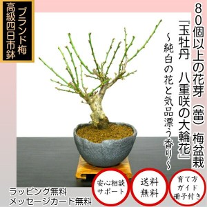 盆栽 梅 一級品 玉牡丹梅盆栽 80個以上の花芽付き 大輪花の幹太白梅盆栽【樹齢5年 極太幹の梅盆栽 八重咲き 玉牡丹梅】壮大な枝振りと花芽の多さがポイント【盆栽 盆栽梅 盆栽 梅 盆栽 ミニ 部屋に飾る盆栽 梅盆栽 和インテリア盆栽 モダン盆栽】