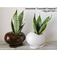 Sansevieria Laurentii Compacta / Egg Pot  White&Brown 2set / サンセベリア・ローレンティー・コンパクタ / エッグポット・ホワイト...