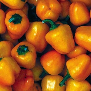 【SEED】Heirloom Pepper Miniature Yellow Bell エアルーム・ペッパー・ミニチュア・イエロ-・ベル(20 seeds)